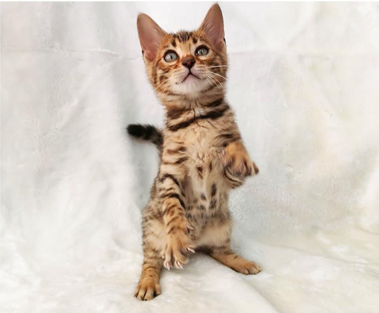 纯种豹猫纯种孟加拉豹猫正规CFA猫舍包健康包纯种全国发货4