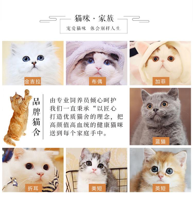 苏格兰折耳猫 包健康 全国发货 正规CFA猫舍5