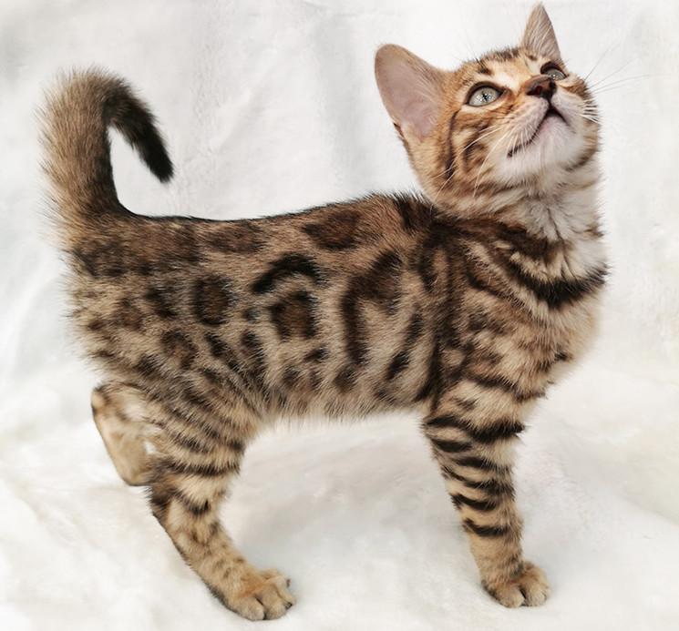 纯种豹猫纯种孟加拉豹猫正规CFA猫舍包健康包纯种全国发货3