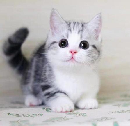 纯种美国短毛猫 美短加白标斑起司 全国发货