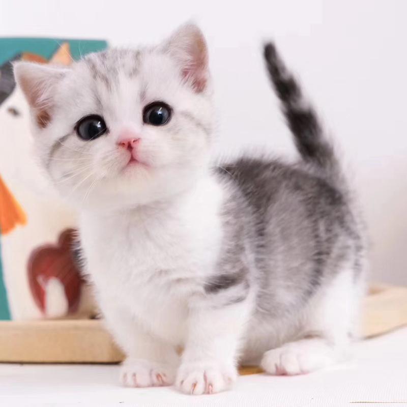 曼基康矮脚猫 包健康包纯种 全国发货