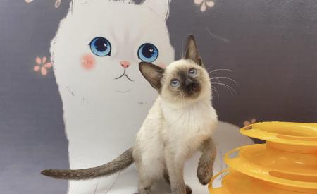 纯种泰国暹罗猫 包纯种包健康 全国发货