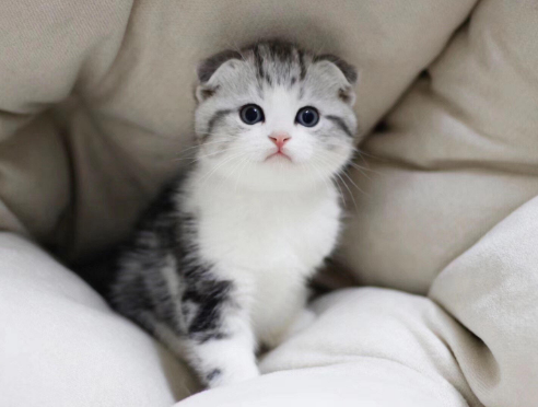 苏格兰折耳猫 包健康 全国发货 正规CFA猫舍