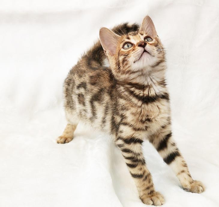 纯种豹猫纯种孟加拉豹猫正规CFA猫舍包健康包纯种全国发货