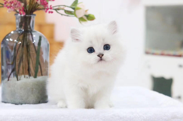 高品质金吉拉猫咪 正规CFA猫舍包健康包纯种全国发货