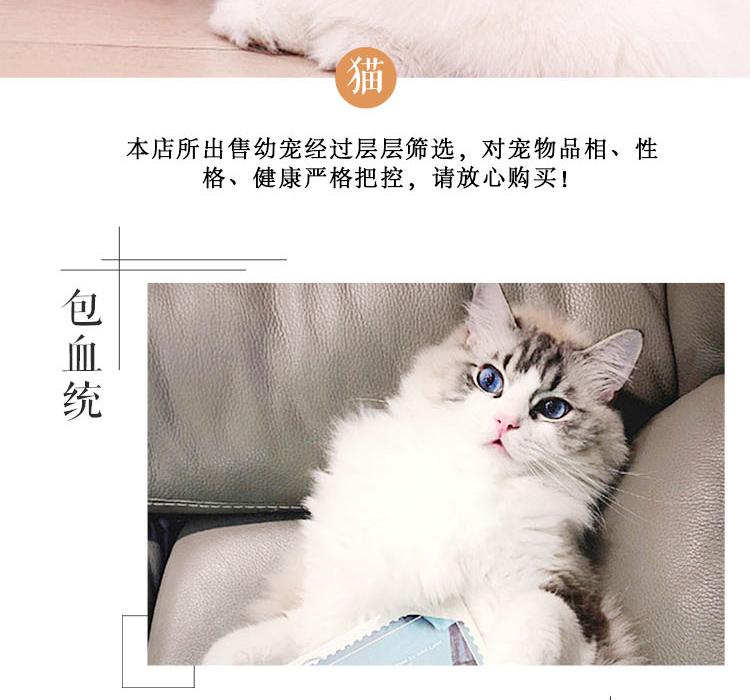 纯种豹猫纯种孟加拉豹猫正规CFA猫舍包健康包纯种全国发货9