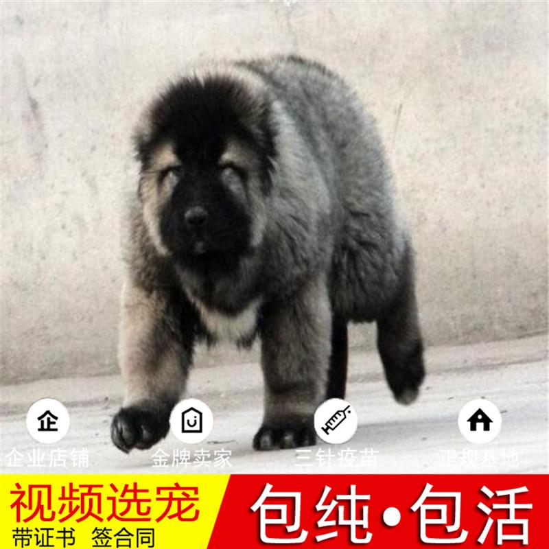 纯种高加索犬幼犬活体宠物狗狗家养小型犬正宗高加索真狗幼崽