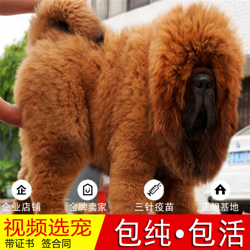 纯种藏獒犬幼犬活体宠物狗狗家养正宗西藏獒犬真狗幼崽