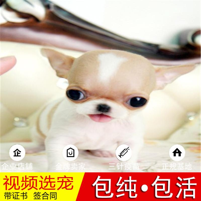 纯种小鹿犬幼犬活体宠物狗狗家养小型犬正宗小鹿犬真狗幼崽8