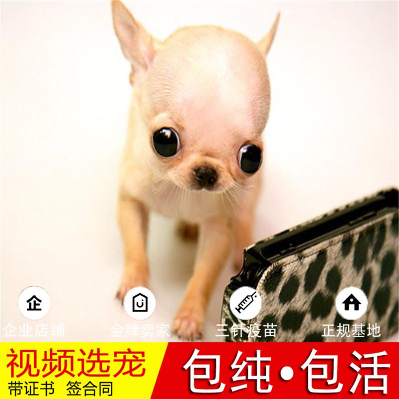 纯种小鹿犬幼犬活体宠物狗狗家养小型犬正宗小鹿犬真狗幼崽16