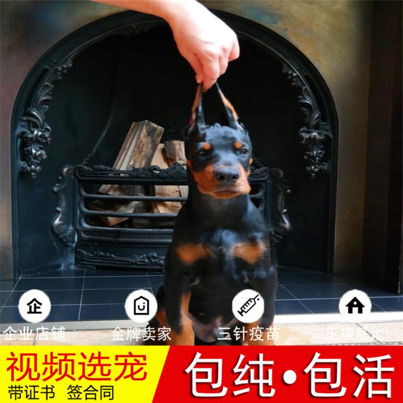 纯种杜宾犬幼犬活体宠物狗狗家养正宗德系美系杜宾犬真狗幼崽