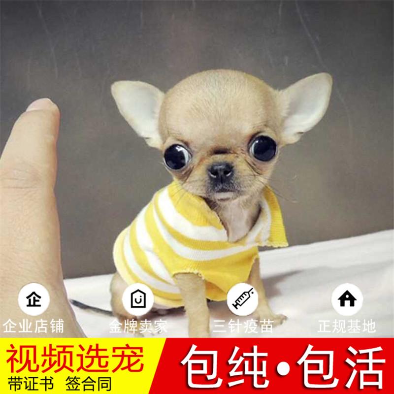纯种小鹿犬幼犬活体宠物狗狗家养小型犬正宗小鹿犬真狗幼崽15