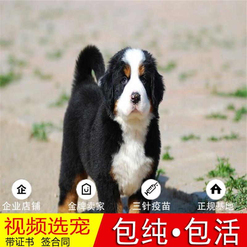 出售纯种血统伯恩山犬活体幼犬宠物狗狗正宗伯恩山犬幼崽真狗