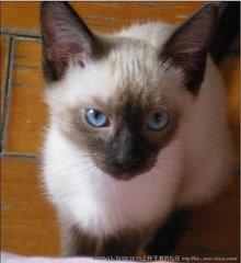 暹罗猫成年多大佛山哪里有卖暹罗猫宠物猫价格