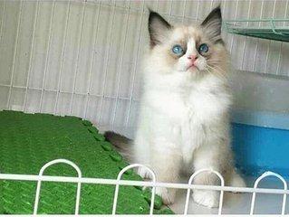 温顺粘人东莞哪里有卖布偶猫正规CFA猫舍