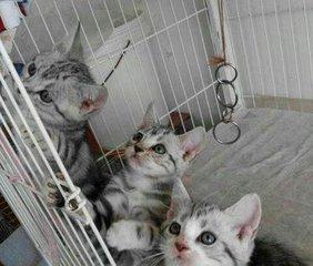 银虎斑猫 美短几钱江门哪里有卖美短