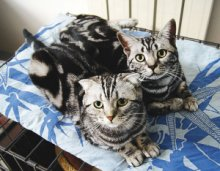 美短银虎斑惠州哪里有卖美短,猫舍在哪的