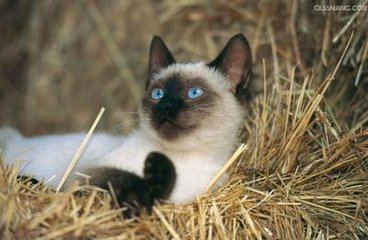 两三个月左右的暹罗江门哪里有卖暹罗猫
