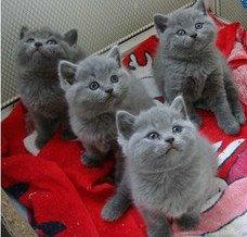 蓝猫幼猫深圳哪里有卖蓝猫 正规猫舍