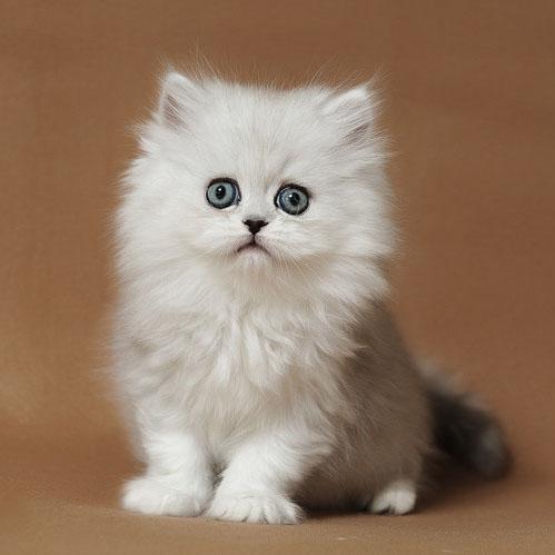 大毛量金吉拉珠海哪里有卖金吉拉猫的 超级粘人