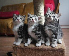 深圳哪里有卖纯种美国短毛猫美短加白标斑性格怎样
