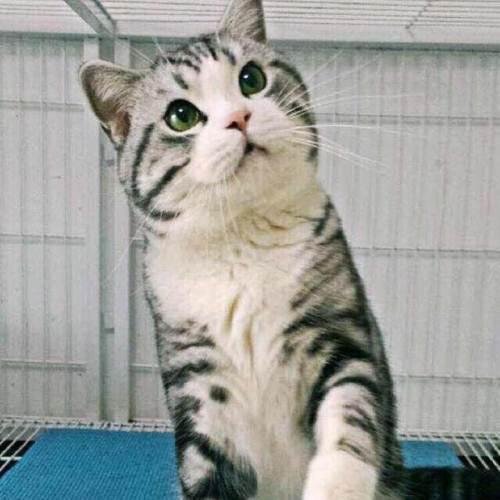 靠谱的猫舍就是康达猫舍,广州哪里有卖美短猫猫