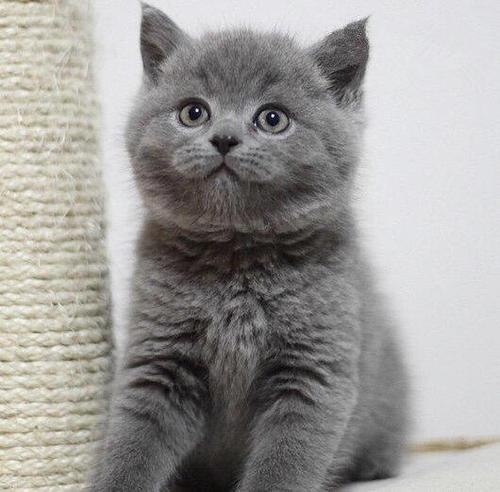 纯种小蓝猫宝宝萌萌的江门哪里有卖蓝猫的