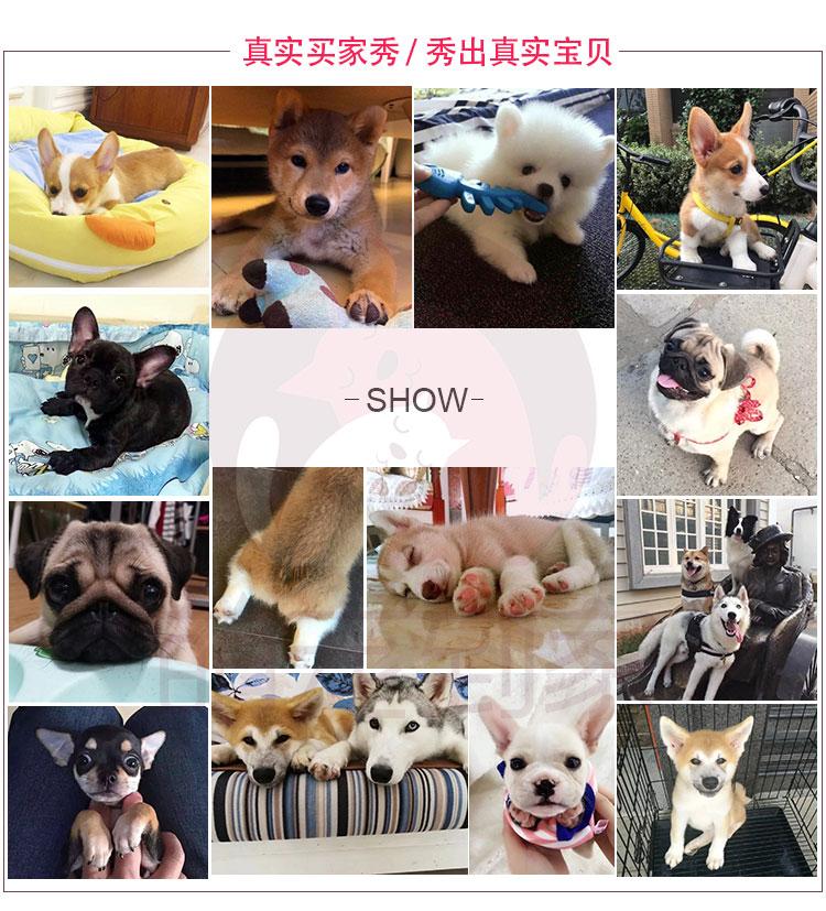 健康纯种京巴犬怎么卖 包养活 签协议 送宠物用品12