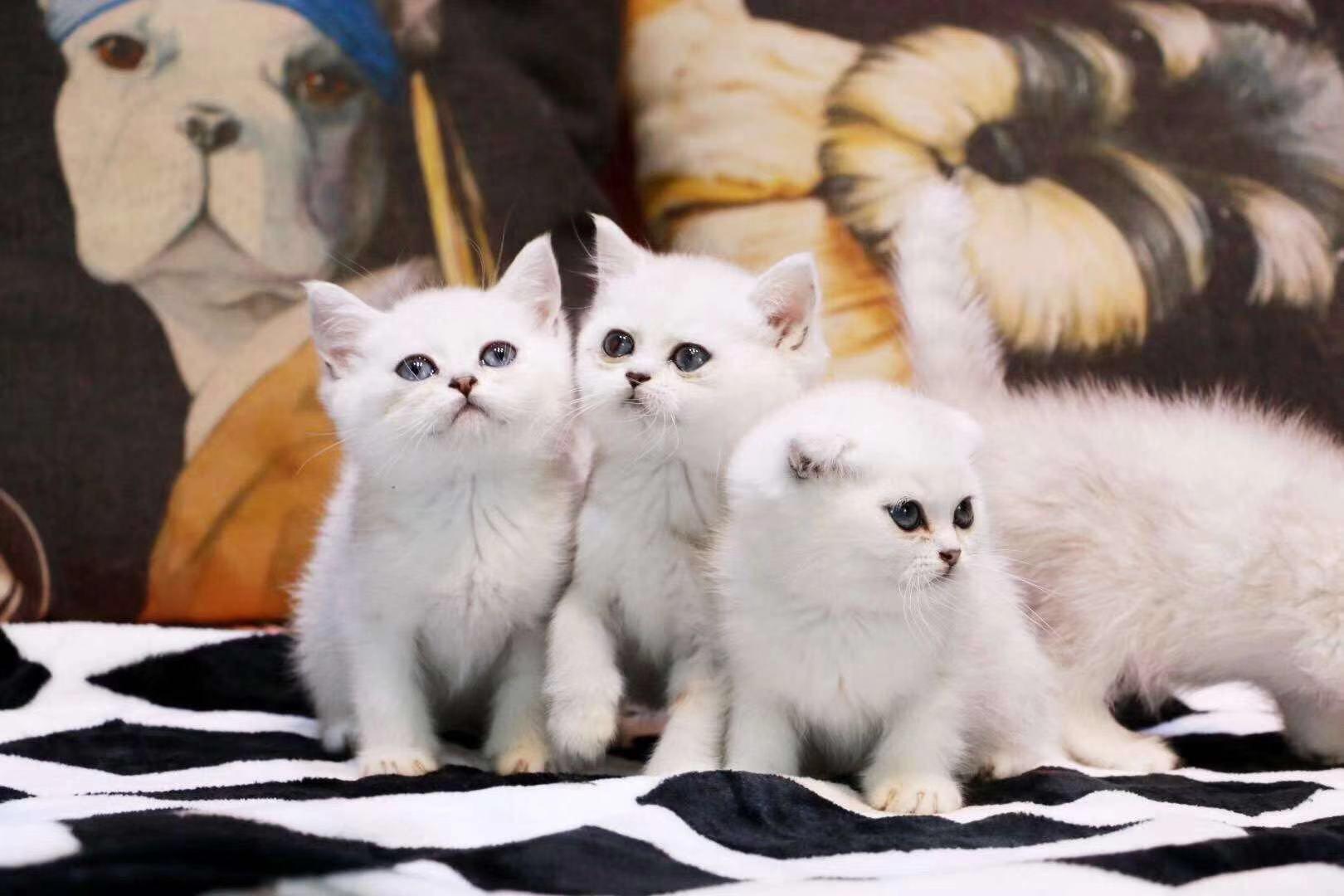 广州英短渐层一只多少钱 广州渐层价格 猫舍直销品质保障