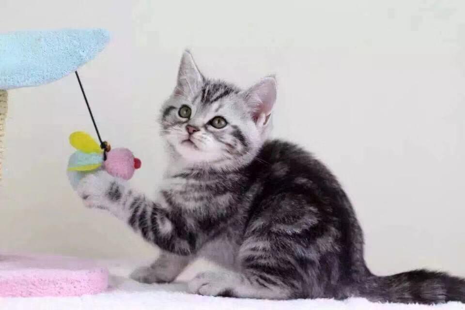广州美短一只多少钱 广州美国短毛猫价格多少钱一只