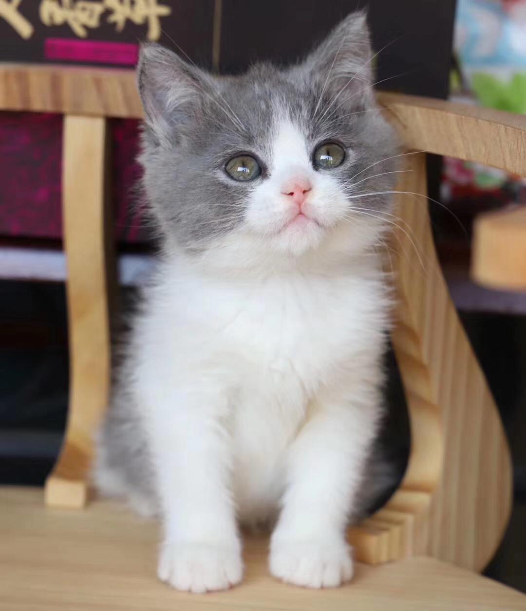 广州英短蓝白猫一只多少钱 广州哪里有卖纯种英短蓝白猫