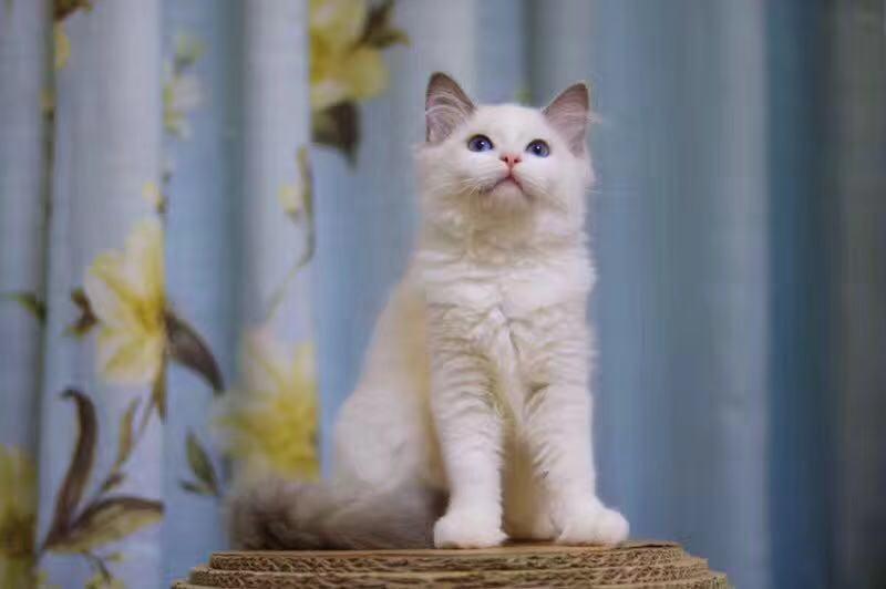 广州布偶猫一只多少钱 广州哪里有卖纯种布偶猫
