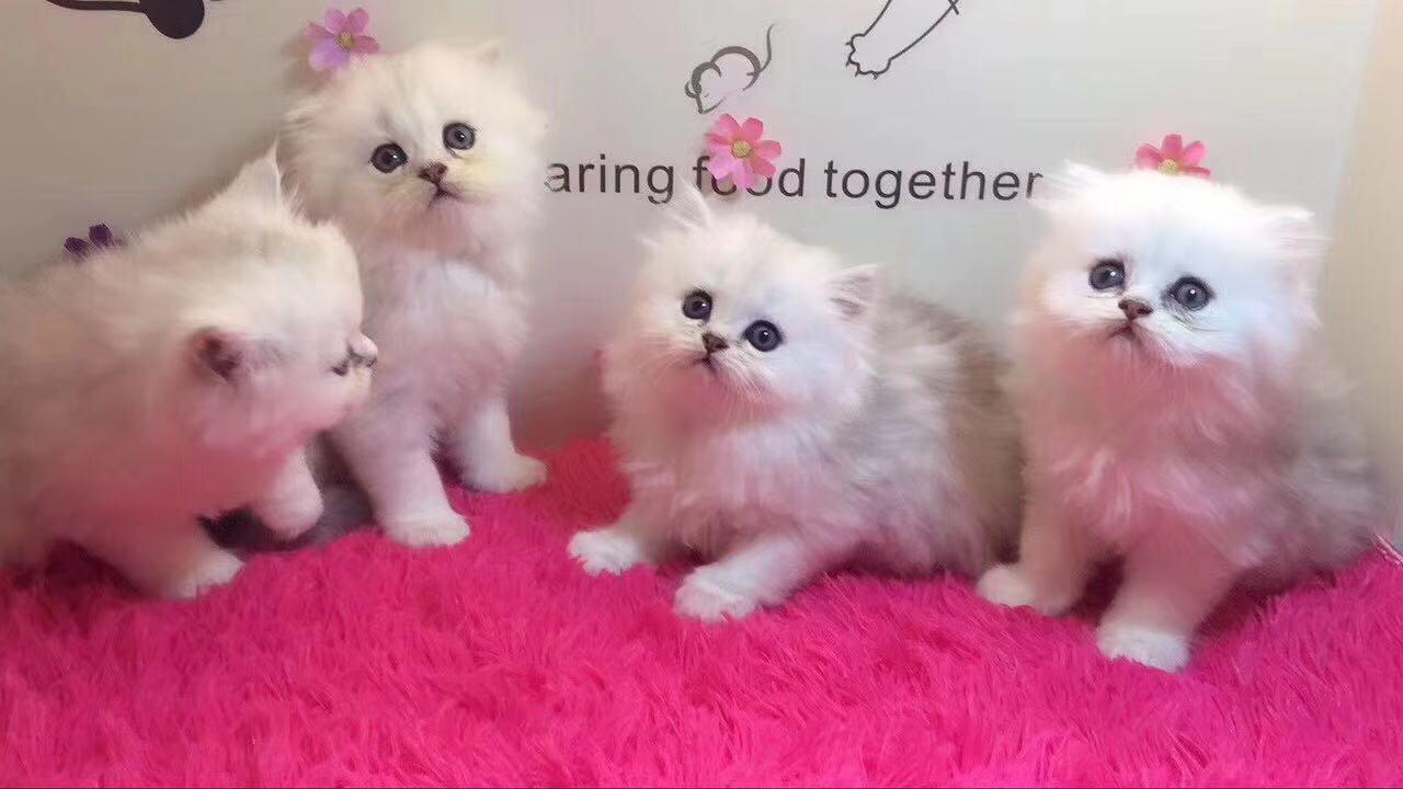 广州金吉拉价格 广州哪里有卖金吉拉 自家猫舍繁殖直销