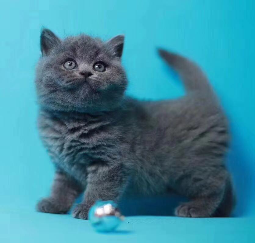 广州蓝猫价格 广州哪里有卖纯种蓝猫 包子脸纯种健康