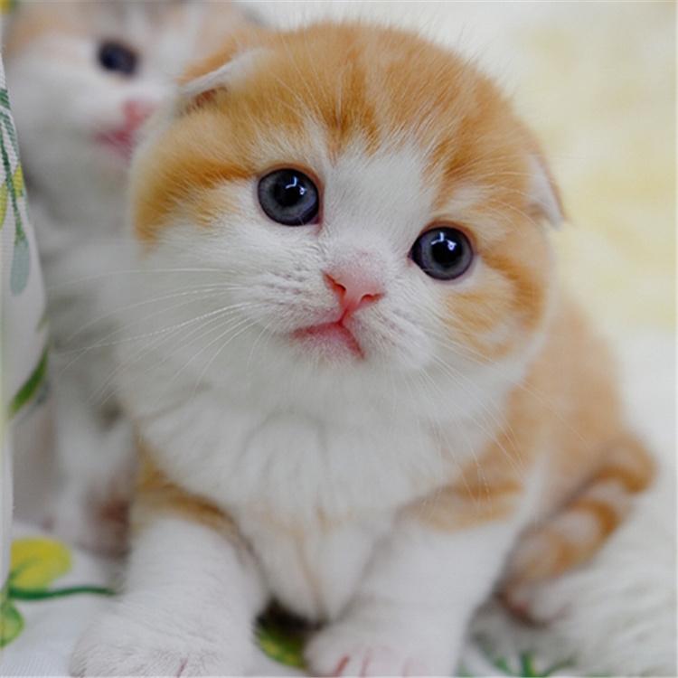 纯种苏格兰折耳猫幼猫呆萌橘白根折耳猫 全国发货