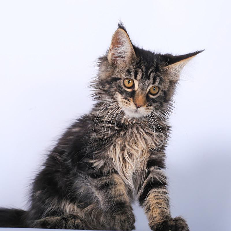 可爱棕虎斑烟灰色活泼长毛巨型大猫纯种缅因猫