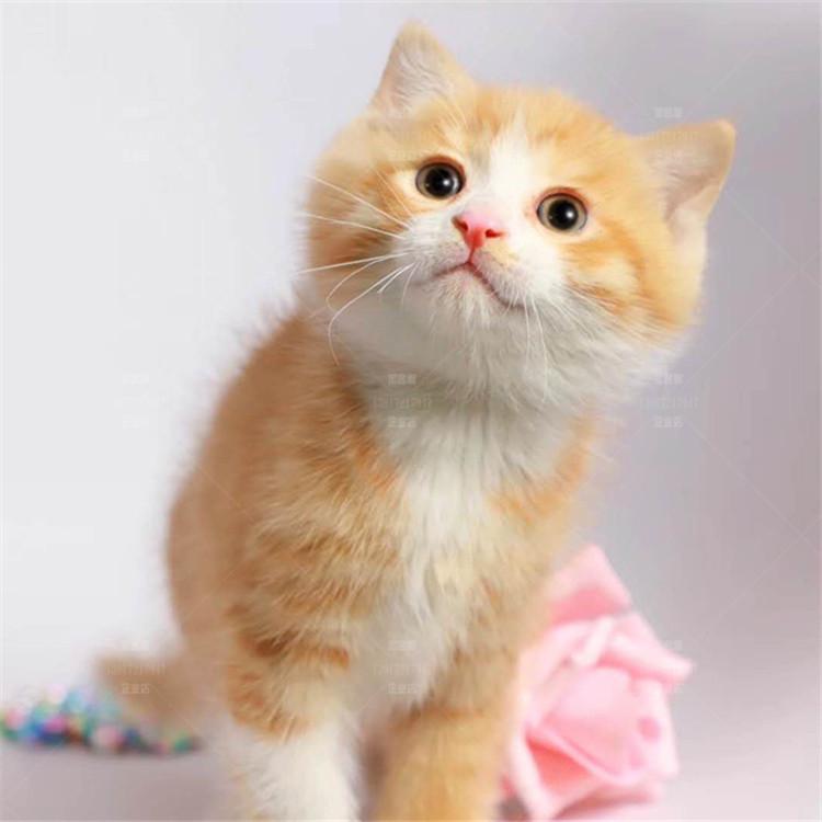 纯种英国短毛猫 纯种英短橘猫幼猫网红大胖橘鲍勃噬元兽