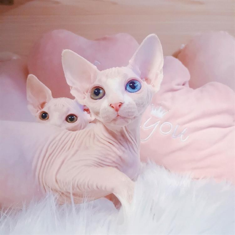 斯芬克斯加拿大无毛猫北京猫舍纯种白皮鸳鸯蓝眼 全国发货