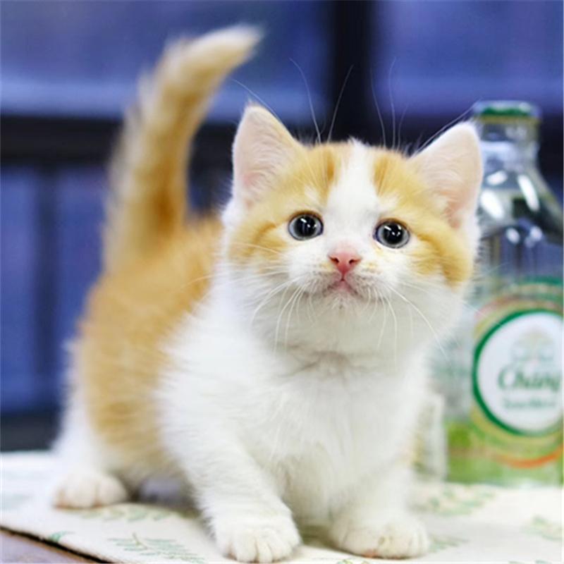 曼基康猫矮脚纯种短腿短毛活体幼猫全国发货