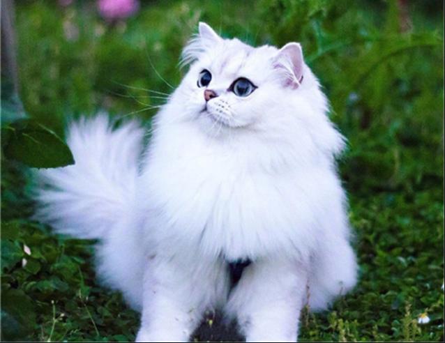 成都正规猫舍金吉拉,包健康、包猫瘟、签订购买协议