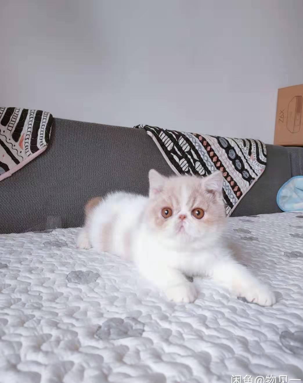 成都哪里有卖加菲猫?关注小萌骨猫舍上门选猫