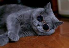 成都蓝猫哪里买靠谱?
