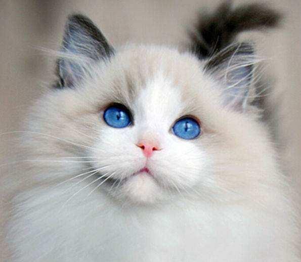 成都哪里有卖布偶猫?成都小萌骨猫舍
