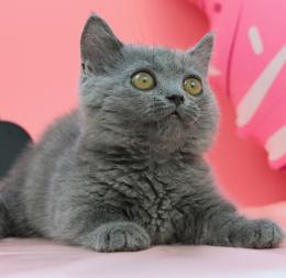 成都小萌骨猫舍正规蓝猫,包健康纯种猫瘟等签购买协议
