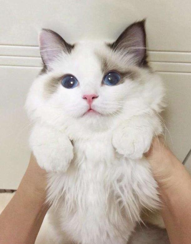 布偶猫哪里买便宜?成都小萌骨猫舍