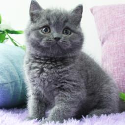 成都哪里可以买蓝猫? 成都小萌骨猫舍亲民价出售纯种蓝猫