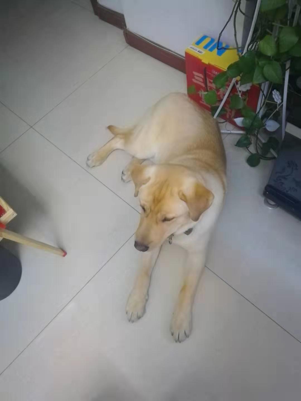 自己养的7个月拉布拉多犬1