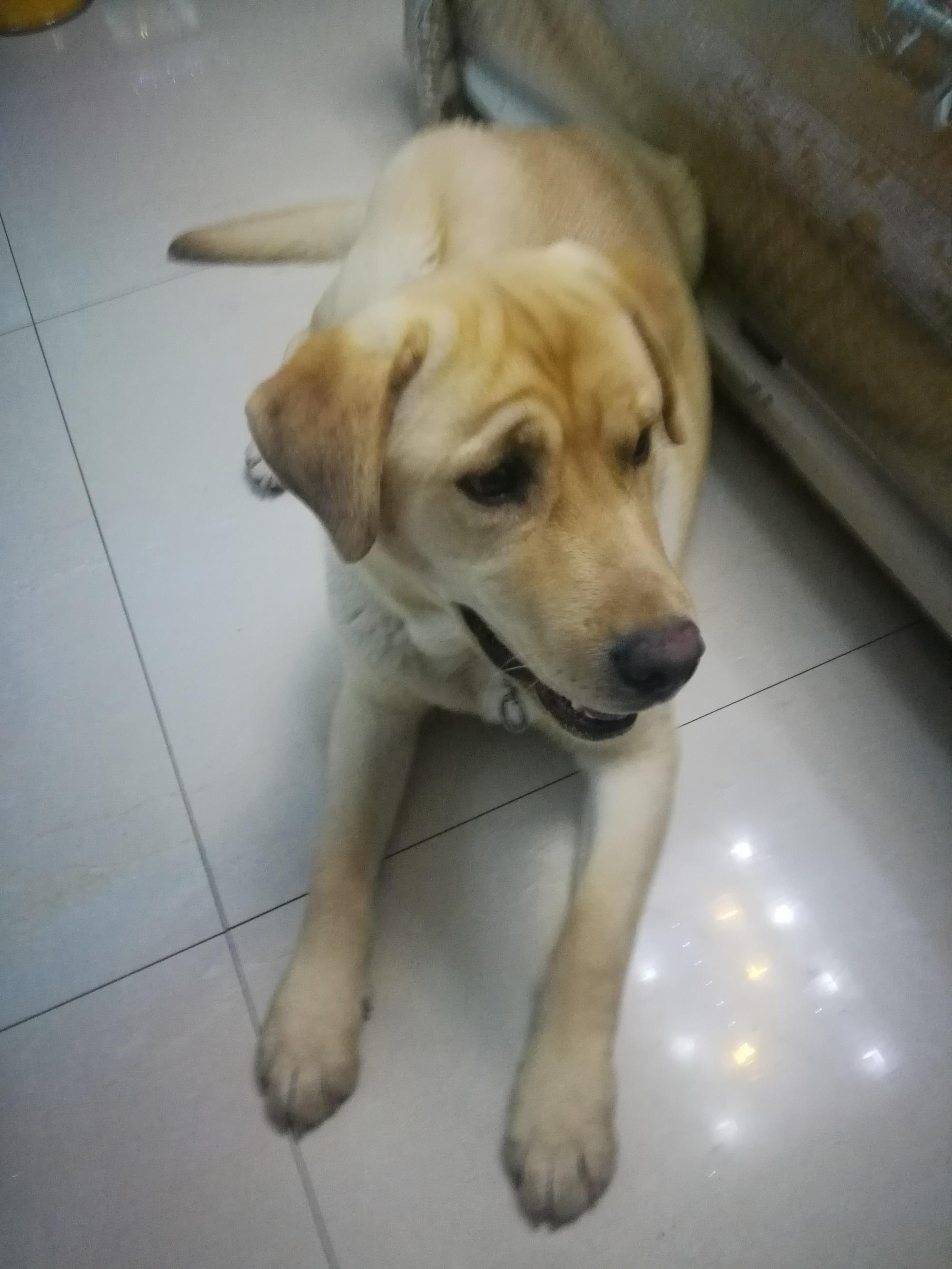 自己养的7个月拉布拉多犬5
