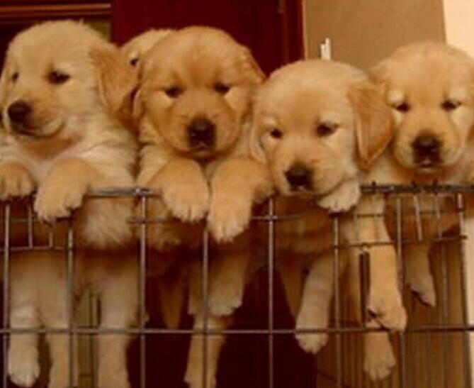 昭通买狗 狗场常年出售金毛 萨摩耶 边牧 阿拉斯加
