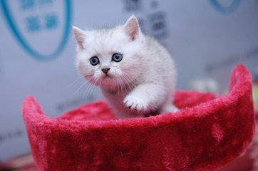 广州猫舍哪里卖纯种银渐层英短猫